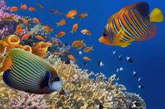 Yellow Tube Sponges in Red Sea. Egypt Royalty Free Stock Photography