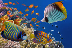 Yellow Tube Sponges in Red Sea. Egypt Royalty Free Stock Image