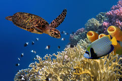 Yellow Tube Sponges. Turtle underwater and Yellow Tube Sponges Stock Images