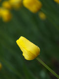 Yellow tulip. In the spring garden royalty free stock images