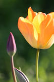 Yellow tulip. Close up of the yellow tulip Royalty Free Stock Photography