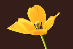Free Yellow Tulip. Stock Photos - 13895833