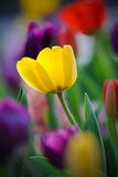 Yellow Tulip. In tulip bed Stock Images