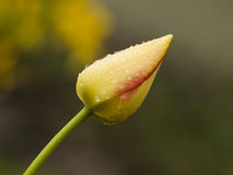 Yellow tulip. Detail of the yellow flowering tulip with raindrops stock photos