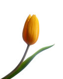 Yellow tulip. Yellow flower tulip single leaf isolated on white Royalty Free Stock Image