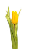 A yellow tulip Stock Images