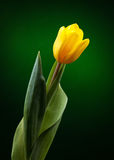 Yellow tulip. On dark green background Royalty Free Stock Photography
