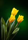 Yellow tulip. On dark green background Stock Photography