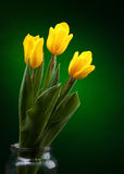 Yellow tulip. On dark green background Royalty Free Stock Photos