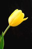 Yellow Tulip. Beautiful yellow tulip green stem in bloom on black background royalty free stock photography