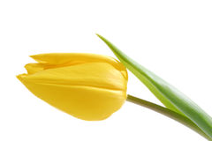 Yellow Tulip. Isolated spring time Stock Images