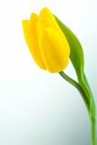 Yellow tulip Stock Photo
