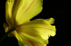 Yellow tulip. On black background Royalty Free Stock Images