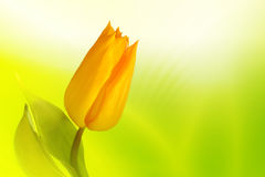 Yellow tulip. Beautiful yellow tulip on spring background Stock Photography