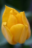 Yellow Tulip. Macrro shot of a yellow tulip stock image