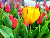 Yellow tulip against pink tulips Stock Photos