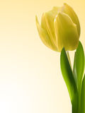 Yellow tulip background Royalty Free Stock Images