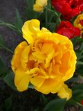 Yellow Tulip on the background of flowerbeds of colorful tulips. Flowers in parks and gardens stock photography