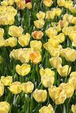 Yellow Tulip Background Royalty Free Stock Photo