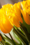 Yellow tulip. Beautiful yellow tulip with the touch of sun Stock Photos
