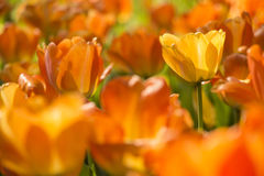 Yellow Tulip Royalty Free Stock Images