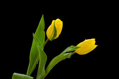 Yellow tulip. With black background stock photography