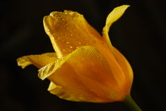 Yellow Tulip on black background Royalty Free Stock Images