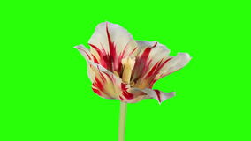 Yellow tulip bloom buds green screen. Royalty Free Stock Photos