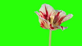 Yellow tulip bloom buds green screen. stock video footage
