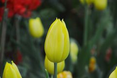 Yellow tulip blooming on branch in garden. Yellow tulip blooming on branch in the garden royalty free stock photography