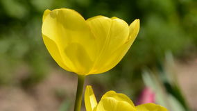 Yellow tulip blossom and wind Royalty Free Stock Photography