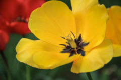 The yellow tulip blossomed. Flowering yellow tulip on a green background Stock Image