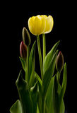 Yellow Tulip Blossoms. Light hitting the multiple tulips with the yellow blossoms opening first Royalty Free Stock Photo