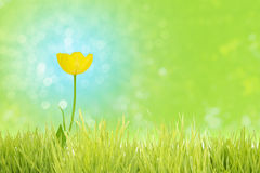 Yellow tulip on blue. Yellow tulip on a complementary blue bokeh background, behind a grass foreground stripe, standing for cheerfulness Royalty Free Stock Photo