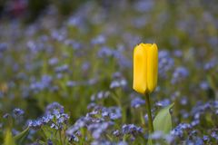 Yellow Tulip and blue flowers Stock Photos