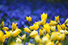 Yellow tulip among blue salvia flower Stock Image