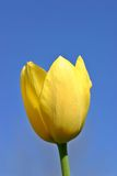 Yellow Tulip Blue Sky. Yellow Tulip against a spring blue sky Stock Photo