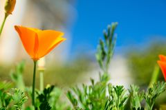 Yellow tulip on blue sky. Yellow tulip against the blue sky. Flower stock image