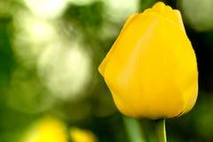 Yellow tulip. On blurred background Stock Photo