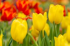 Yellow tulip with bokeh Royalty Free Stock Photography