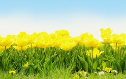Yellow Tulip Border Royalty Free Stock Photography