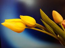 Free Yellow Tulip Bouquet In Blue Royalty Free Stock Images - 146497859