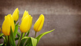 Yellow tulip bouquet  isolated . Royalty Free Stock Photo