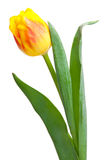 Yellow tulip Stock Images