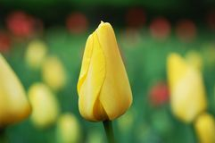 Yellow tulip bud Stock Photos