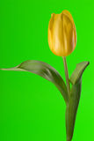 Yellow tulip close up. Yellow tulip on green background Stock Image