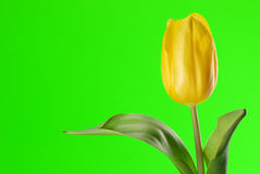 Yellow tulip close up. Yellow tulip on green background Royalty Free Stock Photo