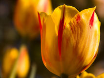 Yellow tulip closeup. Closeup of yellow and orange tulip with others blurred in background Royalty Free Stock Photos