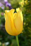 Yellow tulip closeup Stock Photography