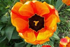 Yellow tulip closeup Stock Images